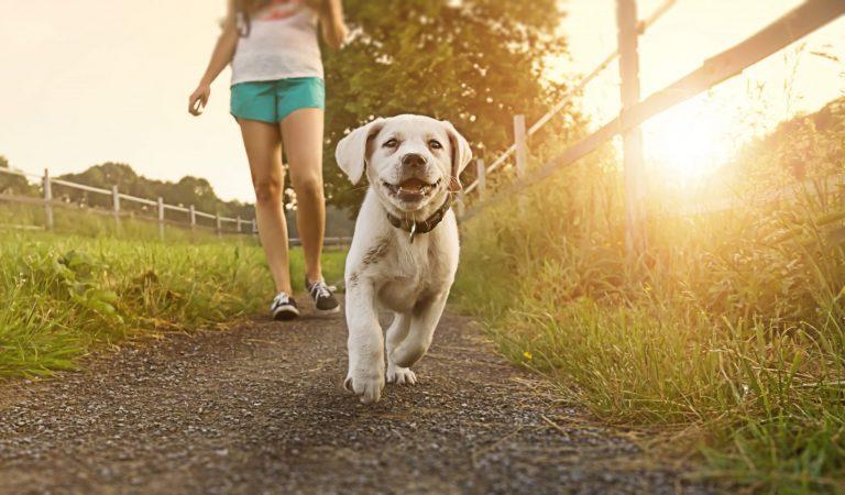 Wandelende puppy