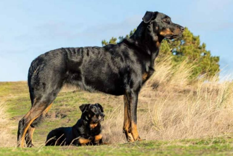 Beauceron met pup