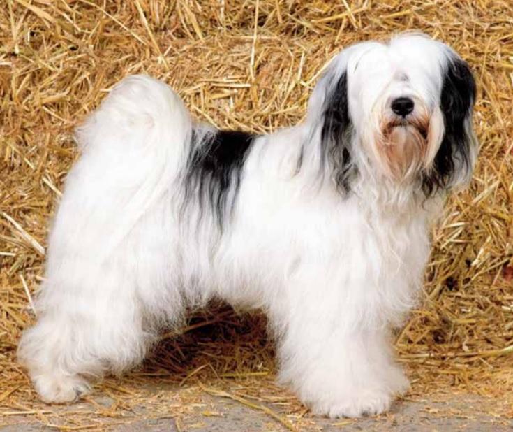 Tibetaanse Terrier