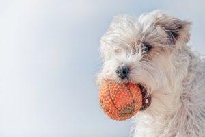 Wit hond je met bal
