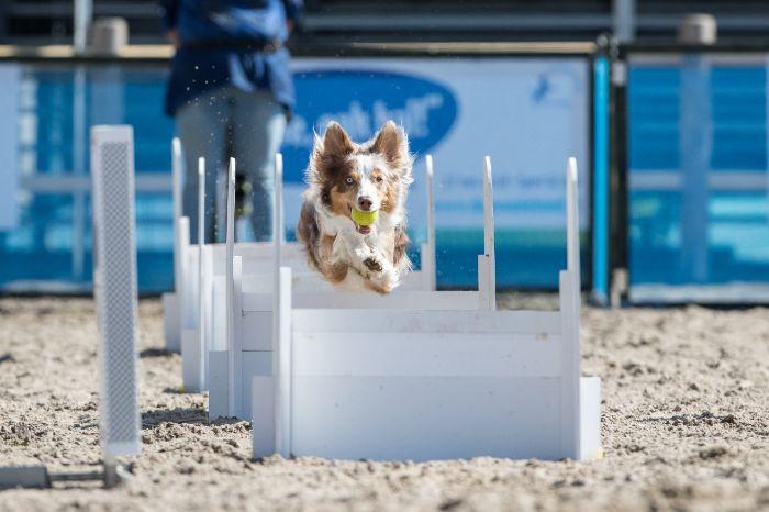 Hond flyball