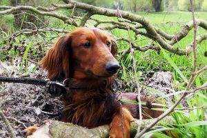Teckel in het bos