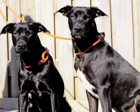 2 zwarte honden
