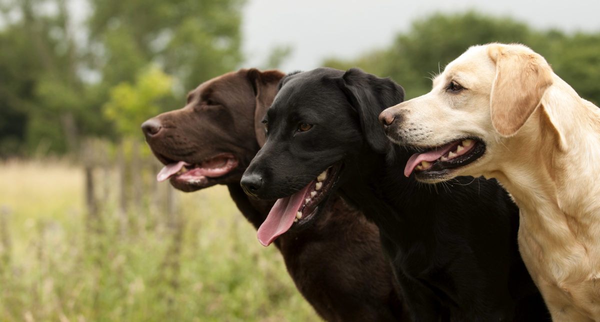 Gezondheid Labradors