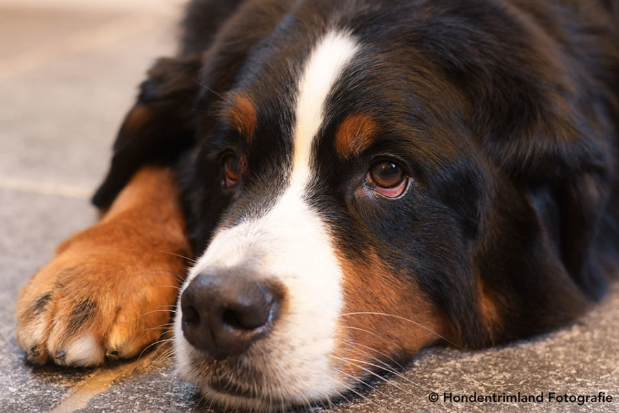Coronavirus en honden