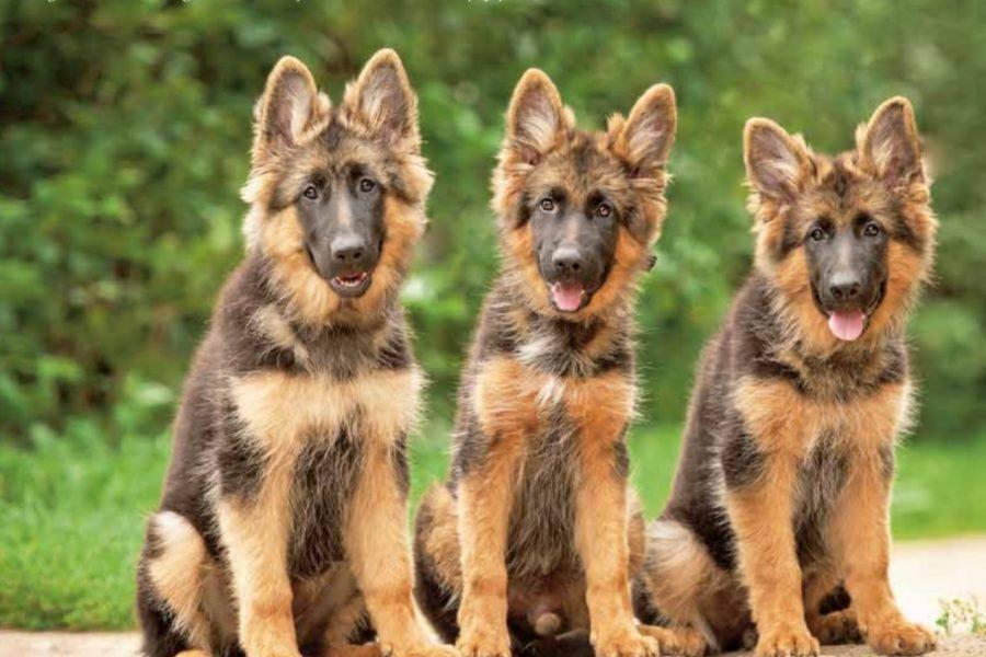 Drie honden op rij