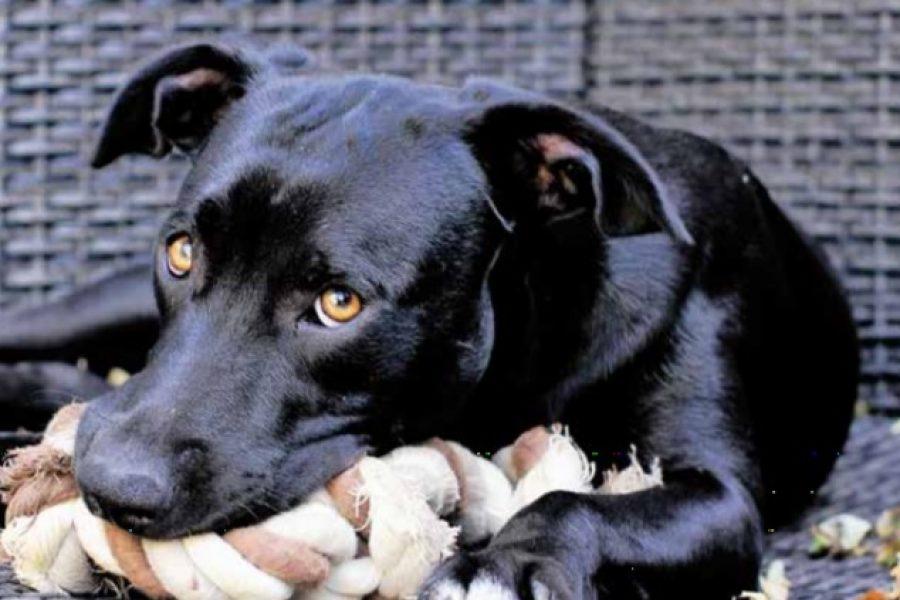 Liggende hond met touw