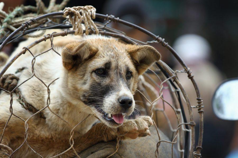 Dog,In,Cage,,The,Dog,Trade,In,Vietnam,Market,,Vietnamese