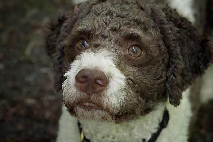 Hond Leon