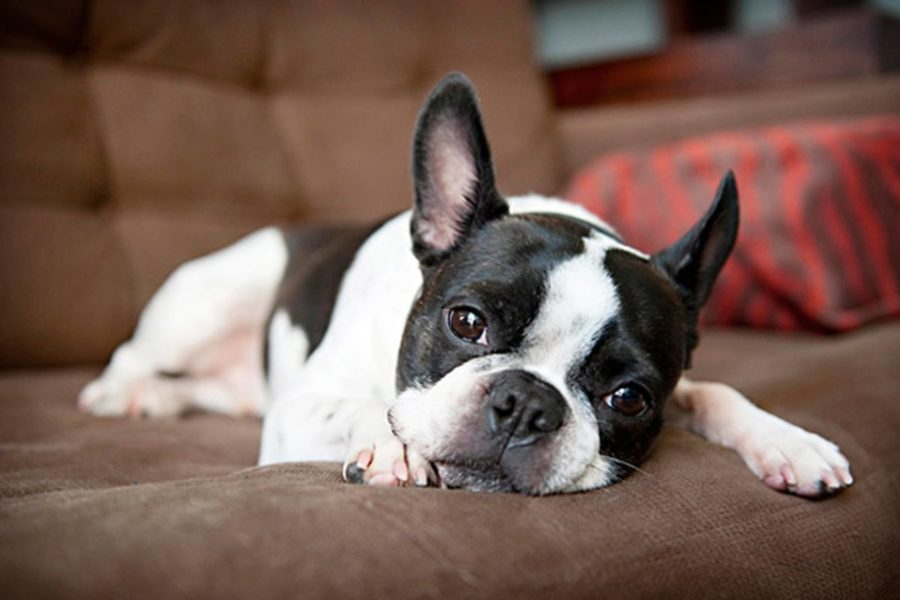 OH-Historisch Portret Boston Terrier13.Boston Terrier ,