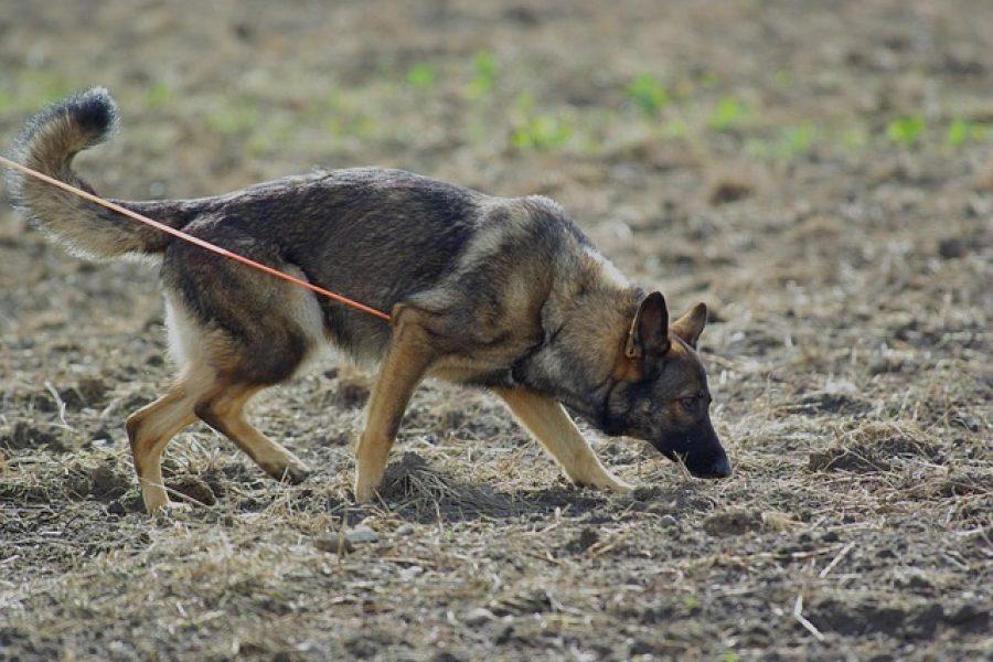 german-shepherd-707046_640
