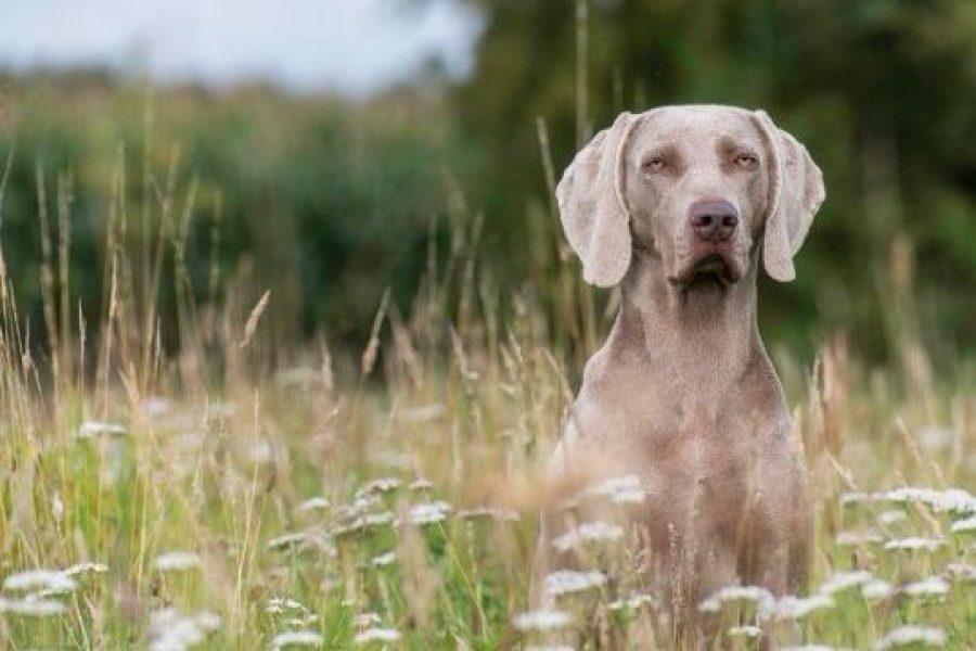 grijze hond
