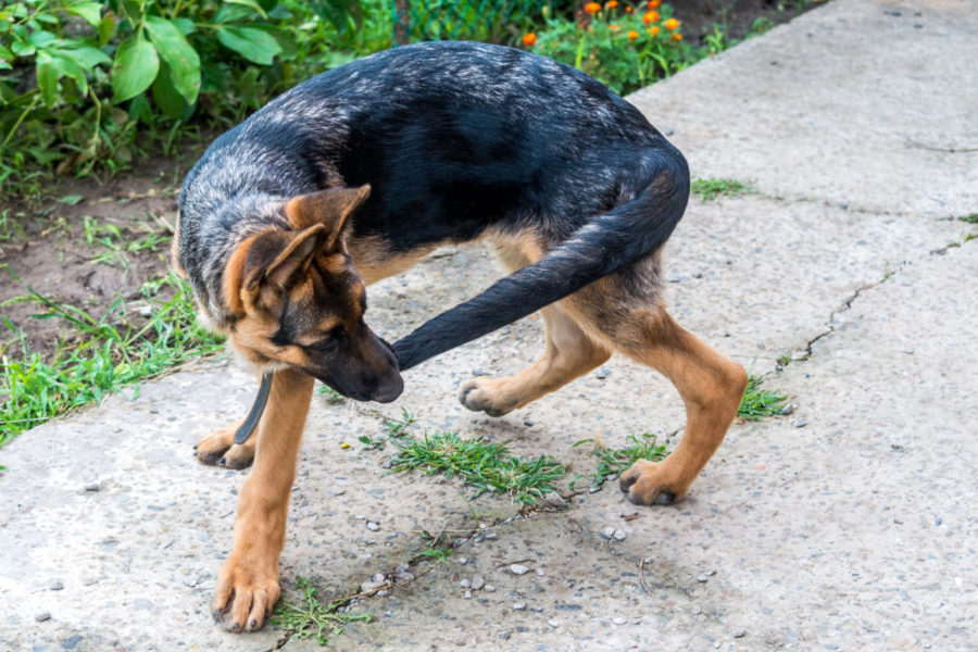 A,Young,German,Shepherd,Puppy,Runs,After,The,Tail.,Dog