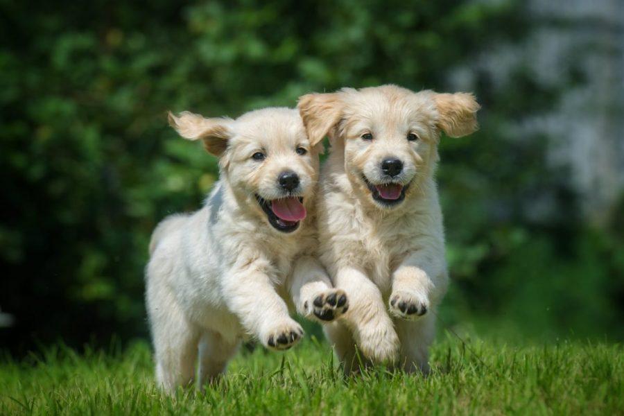 puppie-golden