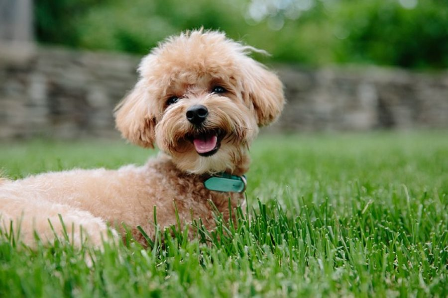 Bruine puppy poedel