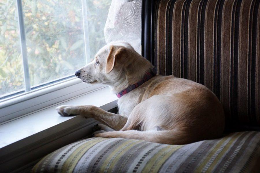 hond voor raam