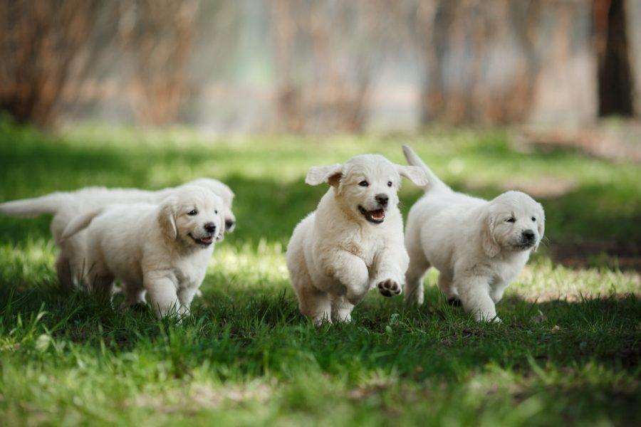 Little,Puppys,Golden,Retriever,,Running,Around,,Playing,In,The,Summer