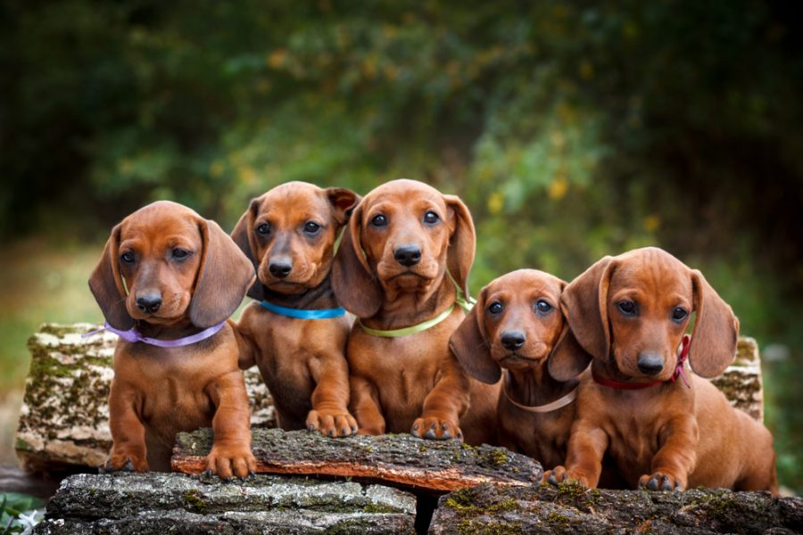 Cute,Dachshunds,Puppy,With,Nature,Background
