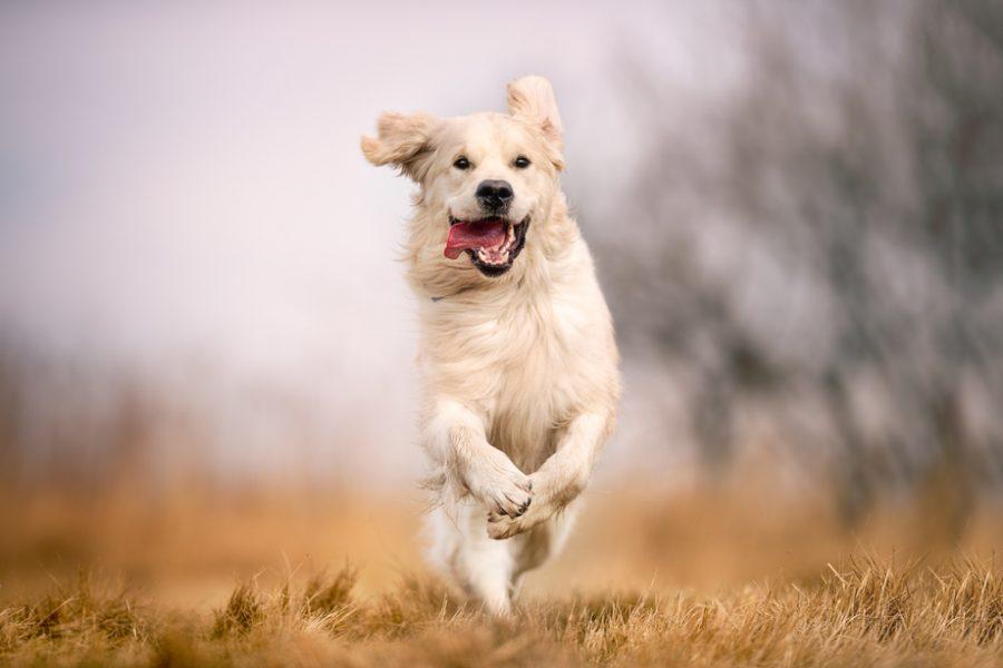 Running,Dog,On,Grass