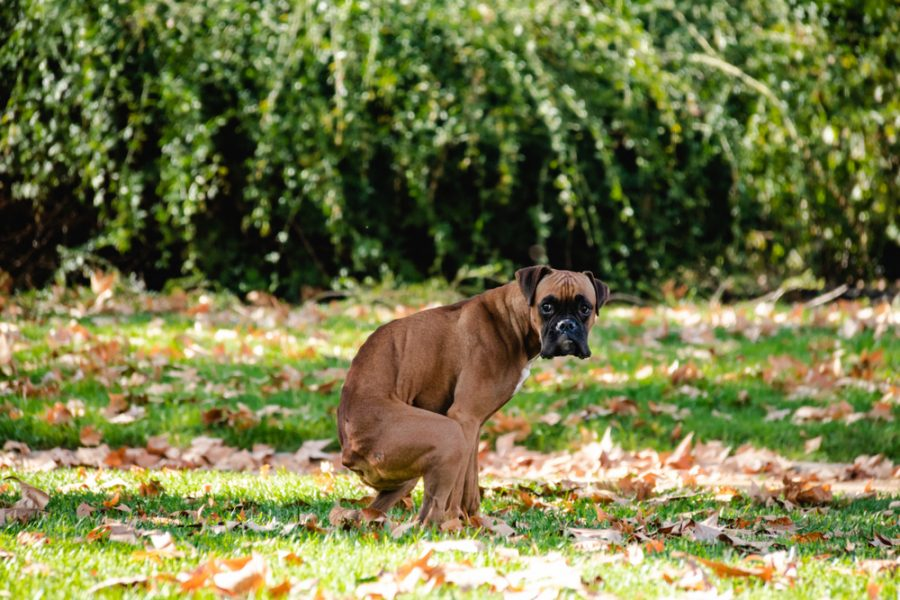 Boxer,Poop,,Dog,In,The,Park,,Dog,Shit