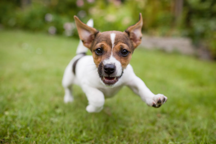 A,Very,Little,Puppy,Is,Running,Happily,With,Floppy,Ears