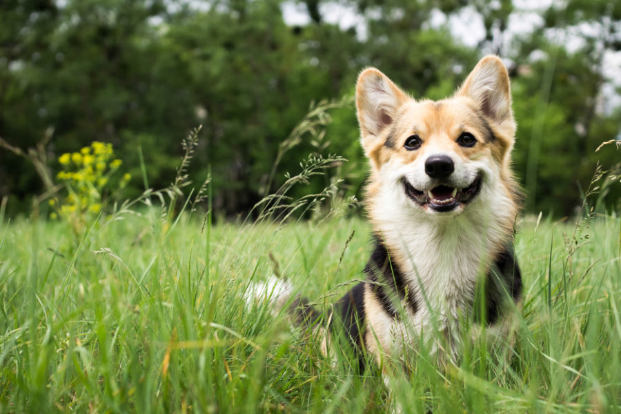 Happy,And,Active,Purebred,Welsh,Corgi,Dog,Outdoors,In,The