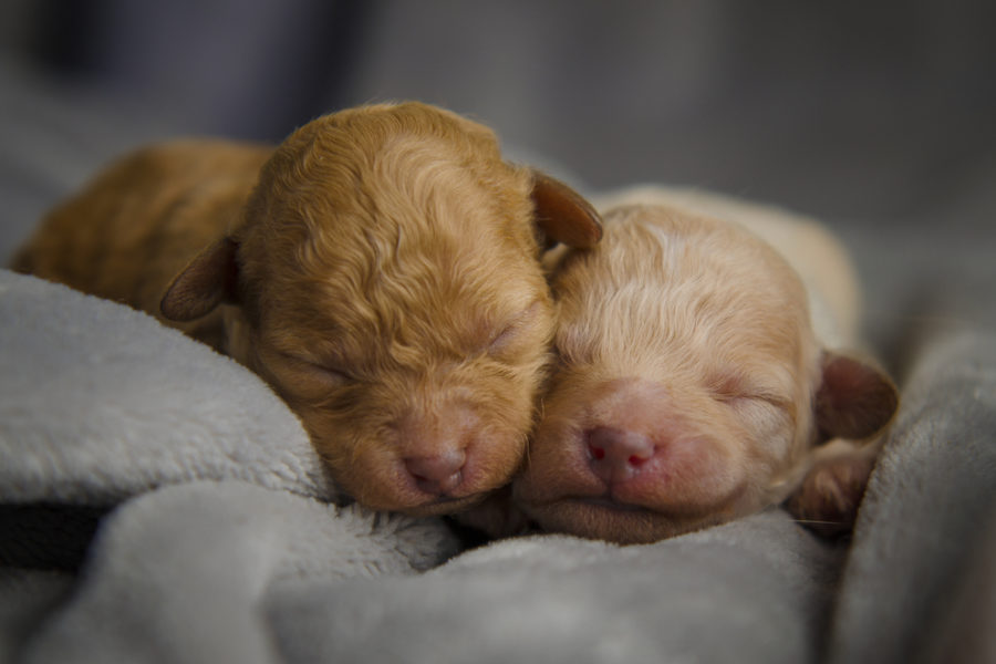 Two,Snuggly,Newborn,Apricot,Purebred,Apricot,Poodle,Puppies,With,Closeup