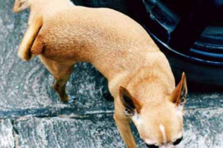 Hond urineert